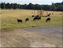 TQ2234 : Sheep grazing at Holmbush Farm by David Howard