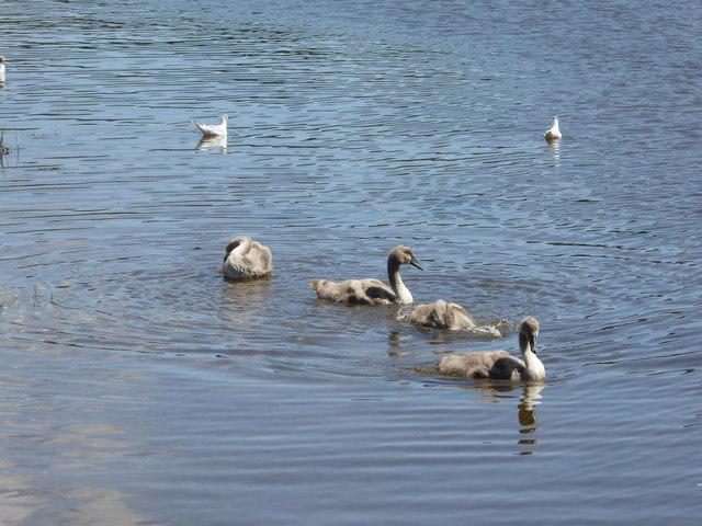 Four cygnets on the Beaulieu River