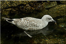 HU4741 : Foraging gull at Hay's Dock, Lerwick by Mike Pennington