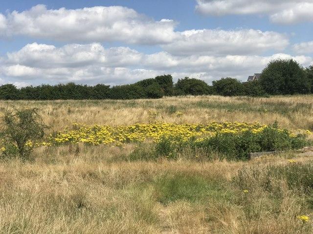 Ragwort on Town Fields
