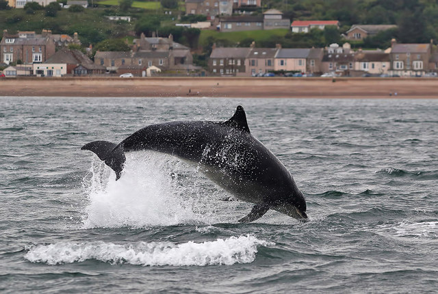 A bottlenose dolphin at Spittal