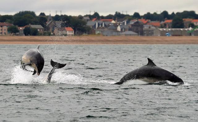 Bottlenose dolphins at Spittal