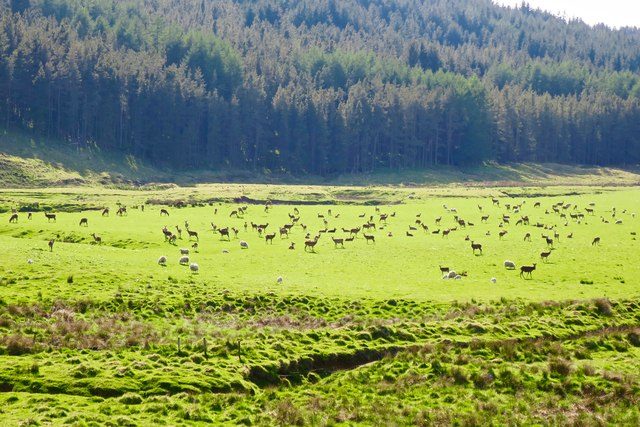 Deer and sheep in the glen