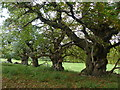 SO4465 : Croft Castle avenue of ancient Spanish Chestnuts by Chris Gunns