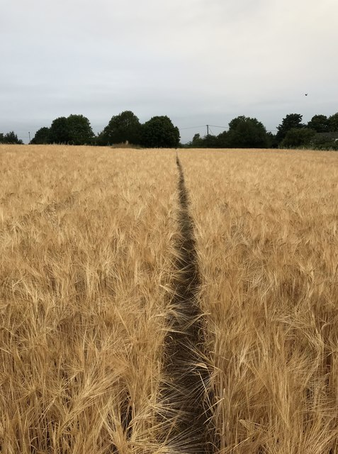 Path through barley field