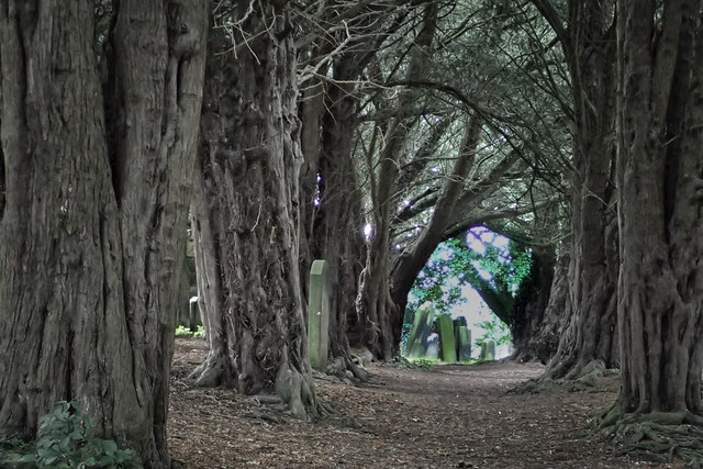 Avenue of Yews