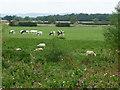 SE4371 : Cattle and sheep near Thornton Bridge Farm by Christine Johnstone