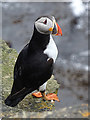 HY2115 : Puffin (Fratercula arctica) by Anne Burgess