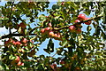 SU6357 : Apples in the walled garden at The Vyne by David Martin