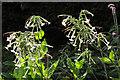 SX9050 : Nicotiana sylvestris, Coleton Fishacre by Derek Harper