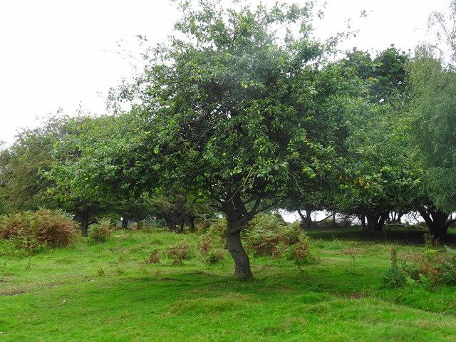 Brocton Camp 'J-Lines' Centenary Apple Tree
