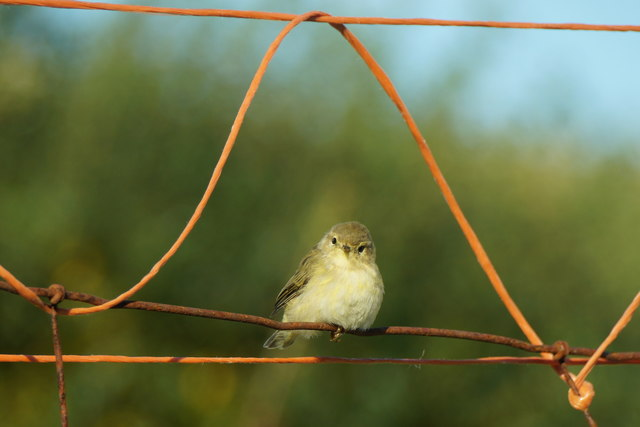 Willow Warbler (Phylloscopus trochilus), Ham, Foula