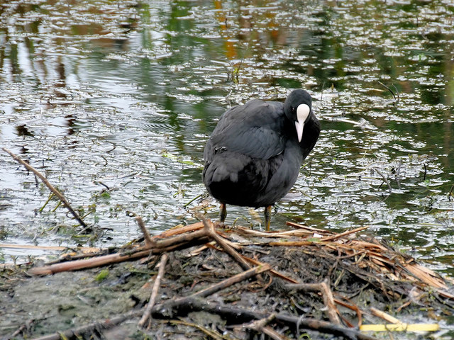 Coot on the Canal
