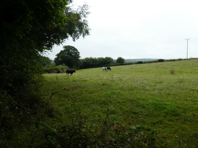 Cattle grazing east of Chagford