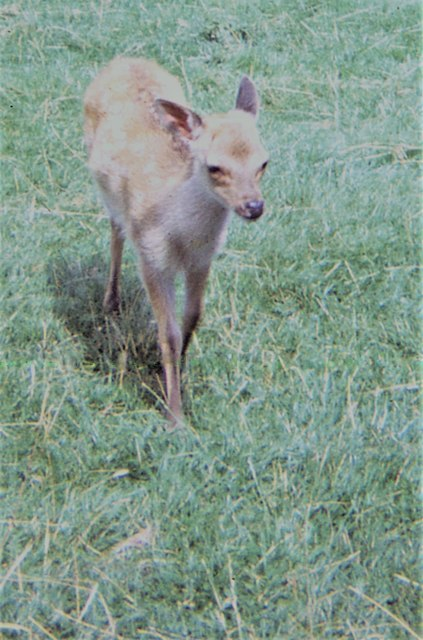 A fawn in the deer herd at Lowther WLP (1970)