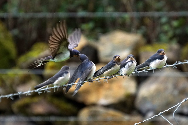 Barn Swallows (Hirundo rustica), Baltasound