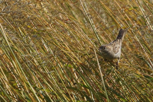 House Sparrow (Passer domesticus) among oats, Uyeasound