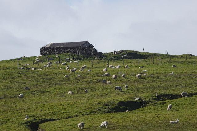 Sheep awaiting the sheep sale, at Houlland, Baltasound