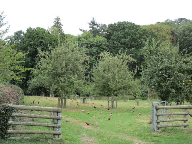 Orchard full of pheasants