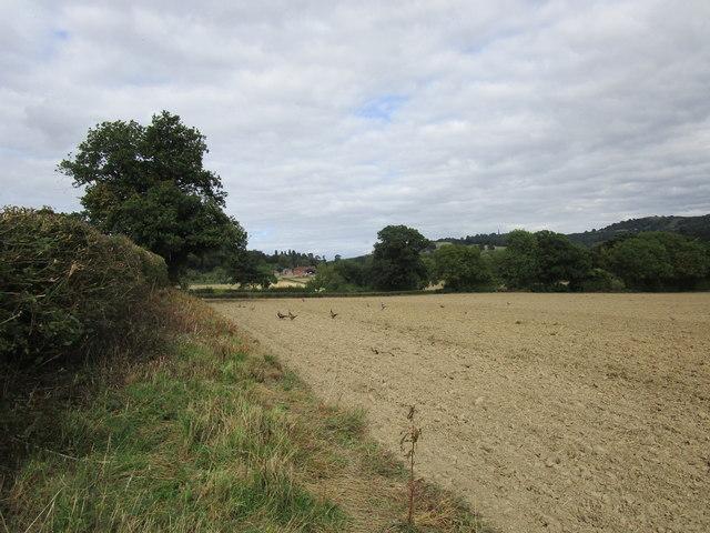 Prepared field with pheasants near Eastnor