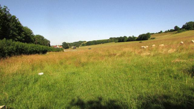 Sheep near Homington