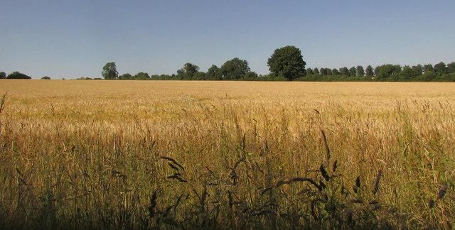 Barley near Stratford Tony