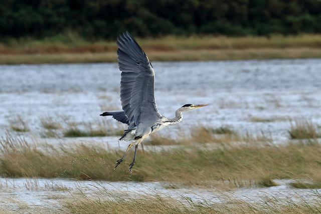 A heron on the River Tweed