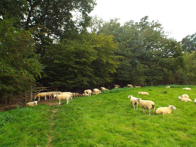 Sheep grazing near Penshurst