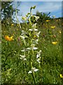 NS2576 : Greater Butterfly-orchid by Lairich Rig