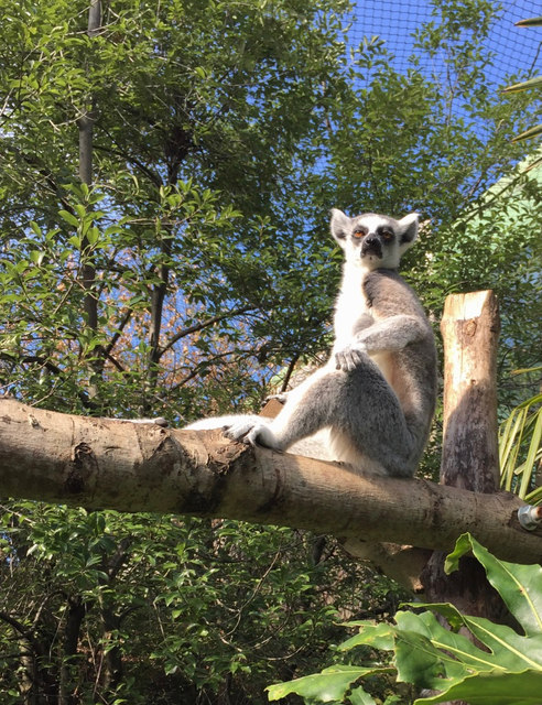 Bristol Zoo lemur