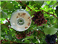 TL5238 : Audley End: grapes and wasp trap by John Sutton
