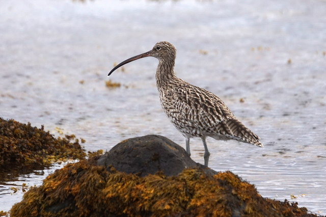 Curlew (Numenius arquata) on the shore at Baltasound