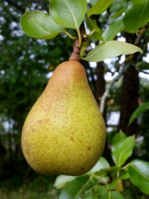 Pear - unknown variety