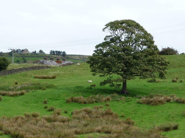 Tree in sheepfield, east of Irwell Vale