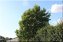 SU5132 : Tree by the B3047, Martyr Worthy by David Howard