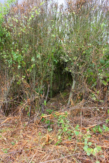 Ditch culvert in hedge on north side of Laming Gap Lane