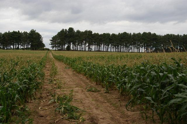 Sandlings Walk crossing maize field east of Wantisden Hall