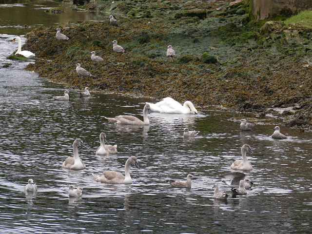 Swans with cygnets on the Eye Water