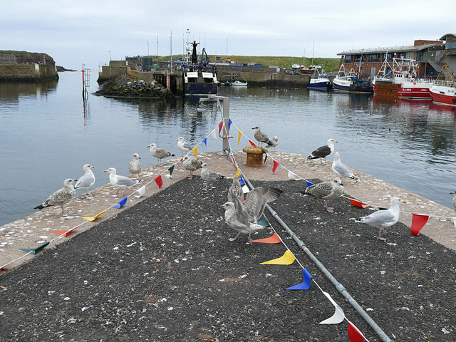 Seabirds at Eyemouth harbour