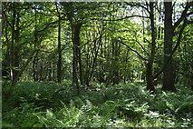 TQ6243 : Woodland by Tunbridge Wells Circular Walk by N Chadwick