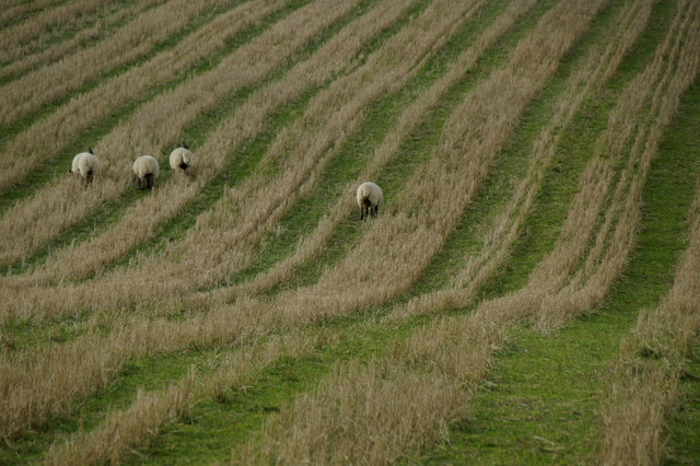 Sheep in stubble at Rerwick