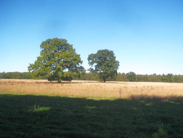 Sarratt: Isolated oak trees near Waterdell Spring