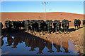NT5838 : Cattle at Town Farm, Earlston : Week 39 winner