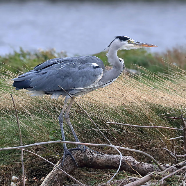 A grey heron (Ardea cinerea) at the River Tweed