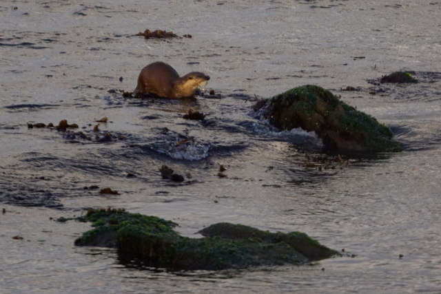 Eurasian Otter (Lutra lutra) on the beach at Norwick