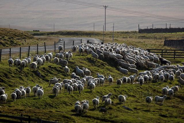 Sheep beside Loch of Snarravoe