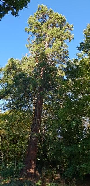 Giant Redwood in the Harris Gardens, University of Reading