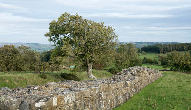 Lone tree beside fragment of Roman Wall