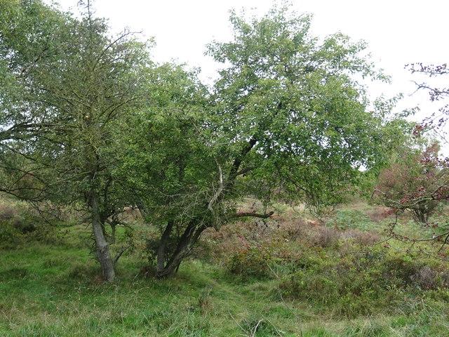 Rugeley (Penkridge Bank) Camp - Centenary Pear Tree