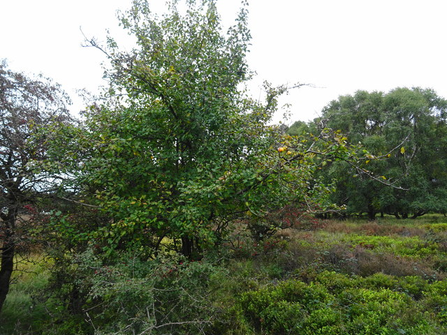 Rugeley (Penkridge Bank) Camp - Centenary Apple Tree